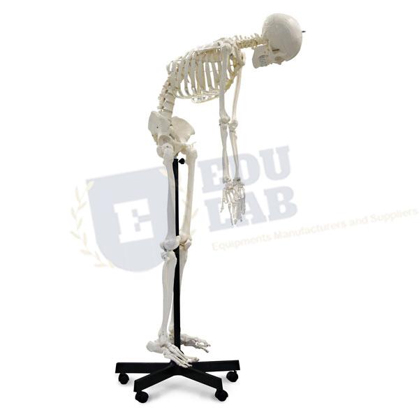 Full-Size Flexible Skeleton