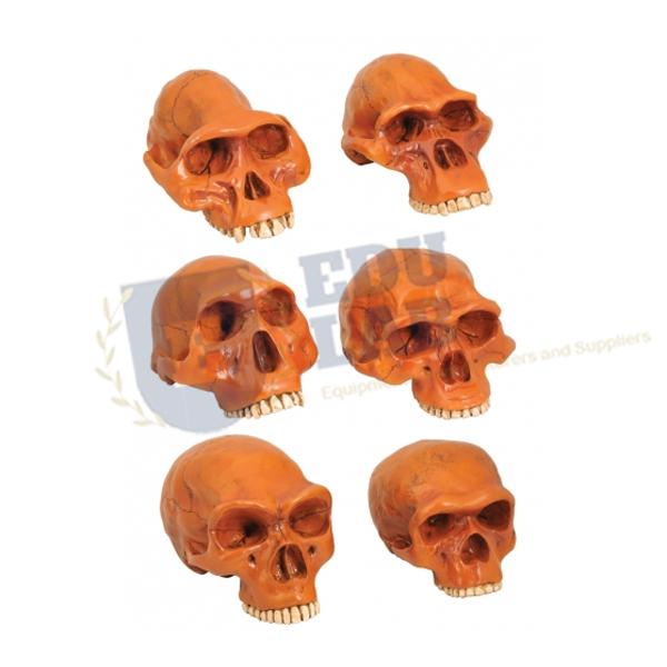 Prehistoric Man Skull Model
