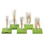 Five Models of Teeth