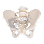 Male Pelvis Skeleton