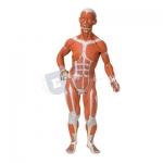 Human Muscular Torso Male