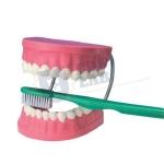 Giant Dental Care Models