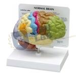 Half Human Brain Sensory/Motor Model