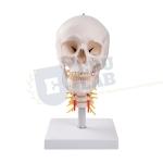 Human Skull Model on Cervical Spine