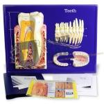 Teeth Model Activity Set