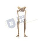 Skeleton of Lower Limb with Half Pelvis