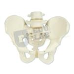 Female Pelvis Skeleton