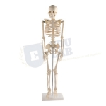 Transparent Human Skeleton Tall 85cm