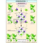 Hybridisation - 1 Chart